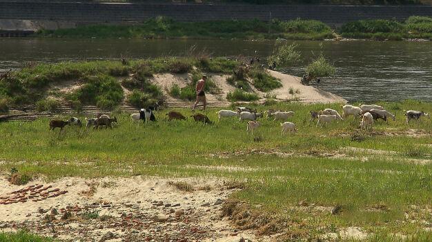 Owce i kozy jak kosiarki