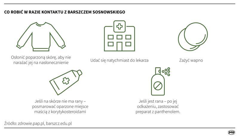 Co robić w razie kontaktu z barszczem Sosnowskiego (Maria Samczuk, PAP)