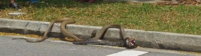 Pyton kontra kobra. Kto wygrał starcie?
