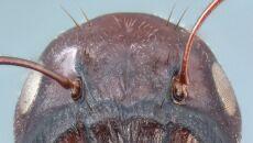 Mrówki z gatunku Colobopsis explodens