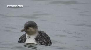 Ptak w chińskim jeziorze poplamiony ropą naftową